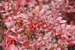 Cierniowaty krzak z czerwieni jagodami i liśćmi Obrazy Royalty Free