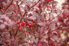 Cierniowaty krzak z czerwieni jagodami i liśćmi Obraz Stock
