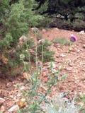 Cierniowaty purpurowy oset w Kolorado Fotografia Royalty Free