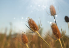 Cierniowaty Wildflower z promieniami światło słoneczne Zdjęcia Stock