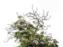 Cierniowy drzewo z gałąź Odizolowywający na białym tle z kopią Zdjęcia Stock