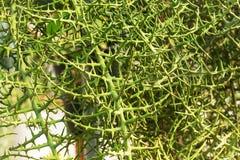 Cierniowy roślina kaktus w pustyni, natury ostrzu i Niebezpiecznym Pr, obrazy royalty free