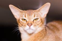 Cierre abisinio del gato para arriba, retrato imagen de archivo libre de regalías