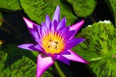 Cierre abstracto hermoso encima de las flores de loto rojas del color y rosadas púrpuras en el jardín fotos de archivo