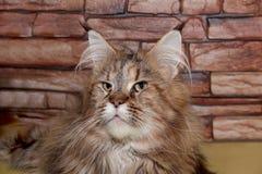 Cierre adulto del gato de mapache de Maine para arriba Foto de archivo