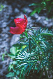 Cierre agradable encima de la foto del tulipán Jardín agradable Imagenes de archivo