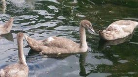 Cierre agradable para arriba con los patos en el río Foto de archivo