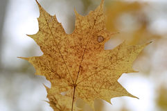 Cierre amarillo de la hoja de arce para arriba foto de archivo libre de regalías