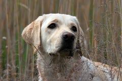 Cierre amarillo de Labrador para arriba Imagen de archivo libre de regalías