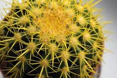 Cierre amarillo del cactus para arriba Planta en la casa fotos de archivo