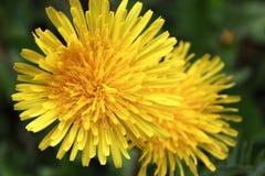Cierre amarillo del diente de león para arriba Imágenes de archivo libres de regalías