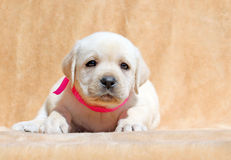 Cierre amarillo del retrato del perrito de Labrador para arriba Foto de archivo libre de regalías