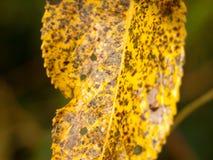 Cierre amarillo manchado negro y marrón de la hoja del otoño para arriba Imágenes de archivo libres de regalías