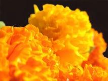 Cierre amarillo y anaranjado de la maravilla encima de la macro para el festival indio fotos de archivo
