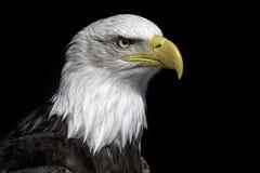 Cierre americano de la cabeza del águila calva para arriba contra fondo negro Imagenes de archivo