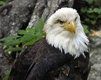 Cierre americano del águila calva para arriba Imagenes de archivo