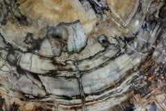 Cierre antiguo de la textura del ammonoidea fósil de los cefalópodos de la amonita para arriba fotos de archivo libres de regalías