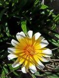 Cierre ascendente hermoso de la flor blanca amarilla Fotos de archivo libres de regalías