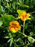 Cierre ascendente hermoso de la flor 4k del amarillo anaranjado Fotos de archivo libres de regalías