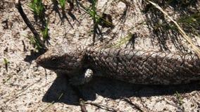 Cierre australiano occidental del lagarto del shingleback para arriba metrajes