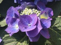 Cierre azul de la flor del hortensia para arriba Imagen de archivo