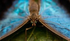 Cierre azul de la mariposa del morpho de Peleides para arriba Imagen de archivo