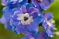 Cierre azul del delphinnum para arriba Fotografía de archivo