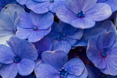 Cierre azul del Hydrangea para arriba Fotografía de archivo