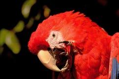 Cierre azul rojo del Macaw para arriba imagen de archivo libre de regalías