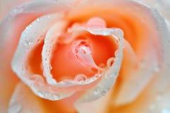 Cierre beige de Rose para arriba Imagen de archivo libre de regalías