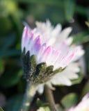 Cierre blanco borroso de la flor del bosque para arriba Imágenes de archivo libres de regalías