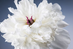 Cierre blanco de la flor de la peonía para arriba Fotos de archivo