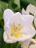 Cierre blanco de la flor del tulipán de la falta de definición suave para arriba Foto de archivo