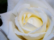 Cierre blanco de Rose para arriba Foto de archivo libre de regalías