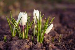 Cierre blanco del azafrán para arriba sobre la tierra vacía en primavera Fotos de archivo