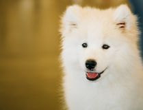 Cierre blanco del cachorro del perrito del perro del samoyedo para arriba Imagenes de archivo