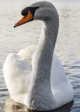 Cierre blanco del cisne para arriba Fotos de archivo libres de regalías