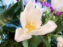 Cierre blanco hermoso de la flor del tulipán para arriba Foto de archivo libre de regalías