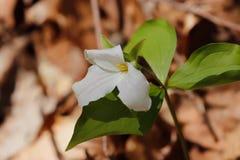 Cierre blanco llamativo de la flor salvaje del trillium del tiempo de primavera para arriba foto de archivo libre de regalías