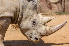 Cierre blanco meridional del rinoceronte para arriba fotos de archivo