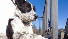 Cierre blanco y negro del perro encima del retrato Imagen de archivo libre de regalías