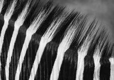 Cierre blanco y negro encima de la melena de la cebra foto de archivo libre de regalías