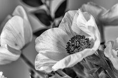 Cierre blanco y negro para arriba de una anémona Foto de archivo