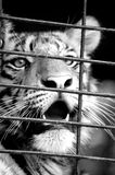 Cierre blanco y negro para arriba del tigre Imagenes de archivo