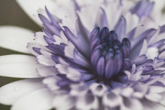 Cierre blanco y púrpura de la flor para arriba Fotos de archivo libres de regalías