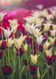 Cierre blanco y violeta del campo de los tulipanes para arriba Imagenes de archivo