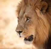Cierre brillante del león de los ojos para arriba en África Imagenes de archivo