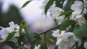 Cierre brillante encima de la vista del flor salvaje blanco del manzano en calles de la ciudad en tiempo de primavera Cantidad co metrajes