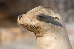 Cierre californiano del león marino encima del retrato Fotografía de archivo