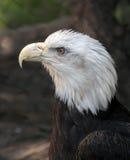 Cierre calvo de Eagle Haliaeetus Leucocephalus para arriba Foto de archivo